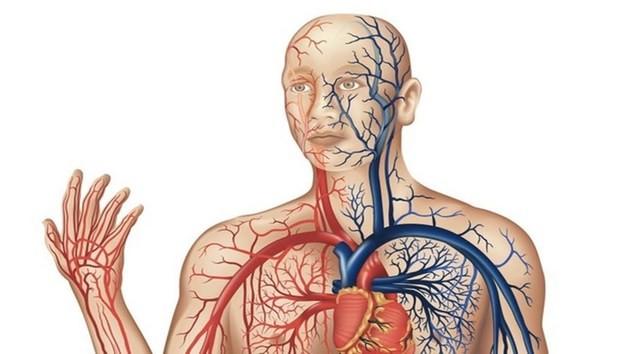 Veias e artérias do corpo humano