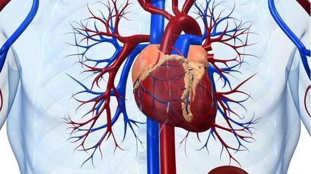 Artérias, veias e coração