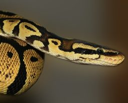 Cobras venenosas e peçonhentas