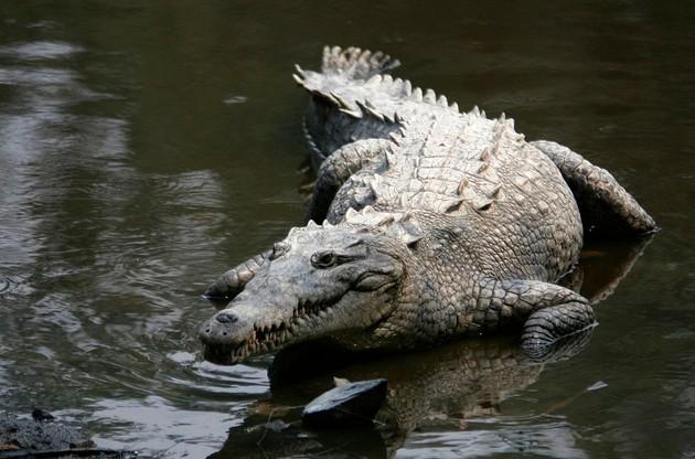Crocodilo-americano (Foto: Tomás Castelazo / Wikimedia)
