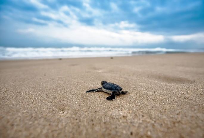 Um filhote de tartaruga marinha tenta encontrar o mar