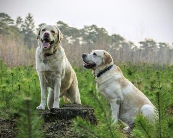 Labrador e Golden retriever