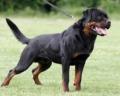 Rottweiler alemão e americano