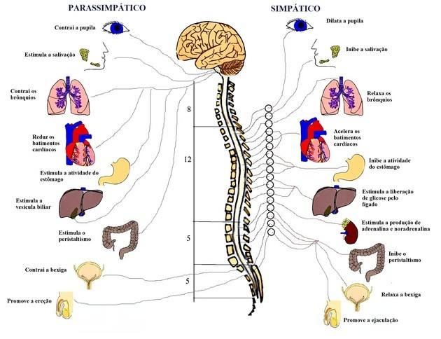 Sistema nervoso simpático e parassimpático